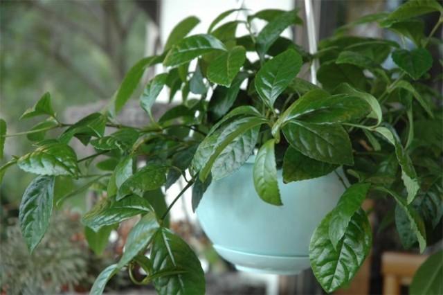 Хлорантус в подвесном кашпо