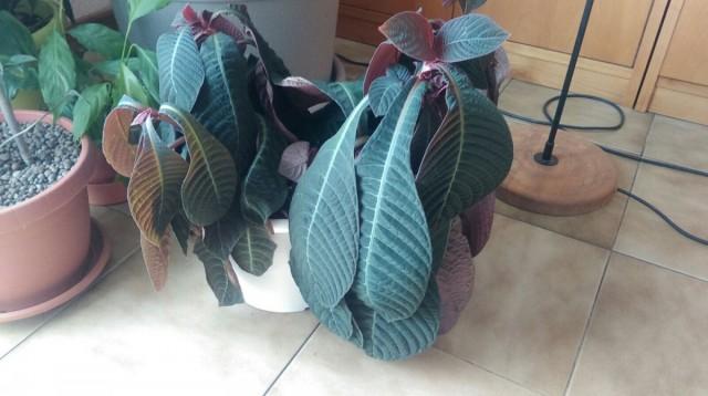 Листья гофмании опустились от недостаточного полива