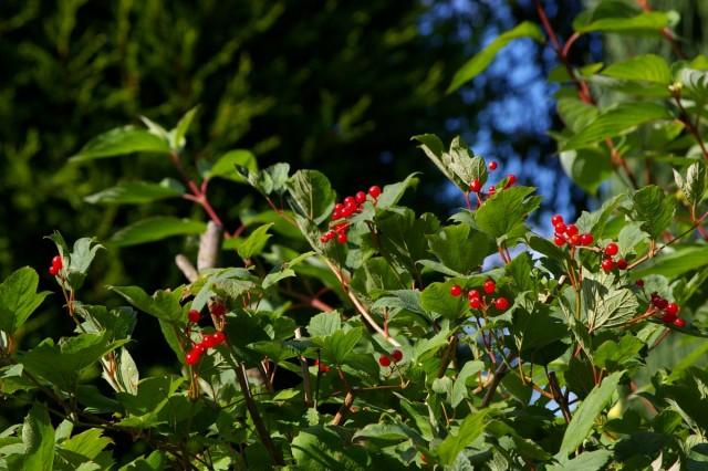 Калина - полезная ягода и украшение сада