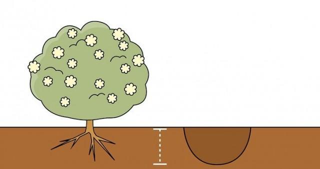 Размер посадочных ямок напрямую зависит от объема корневой системы саженца