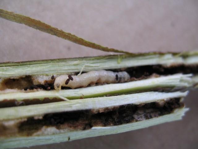 Личинка Смородинной стеклянницы в поврежденной ветви