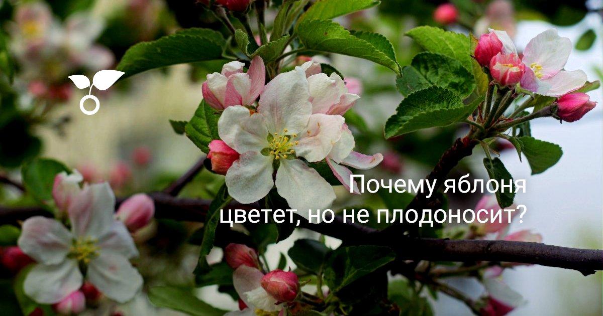 Почему яблоня не плодоносит и не цветет – что делать