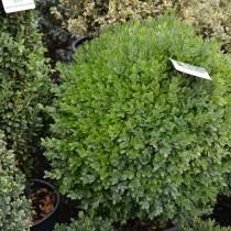 Самшит обыкновенный или вечнозеленый (Buxus sempervirens)