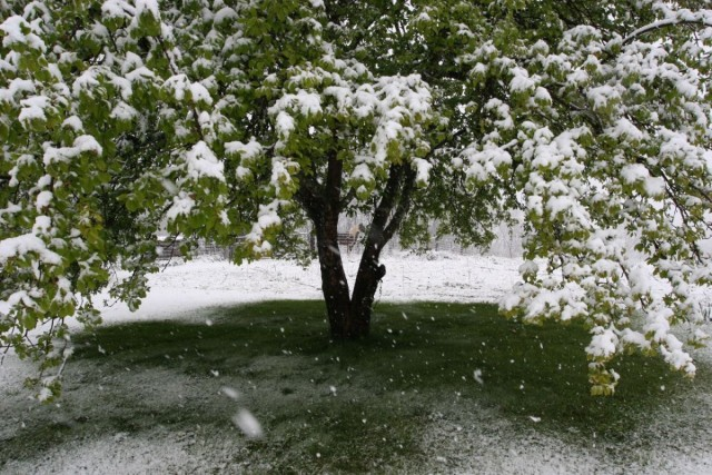 Яблоня весной под снегом