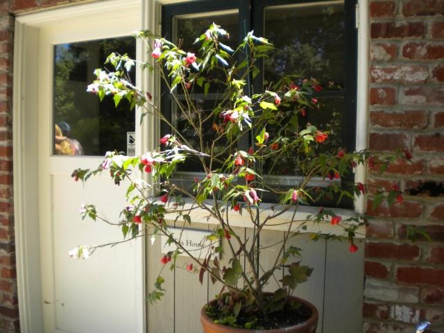 Контейнерний гибридный абутилон (Abutilon hybridum)
