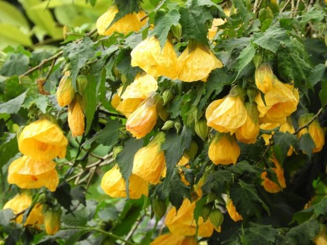 Абутилон гибридный (Abutilon x hybridum «Moonchimes»)