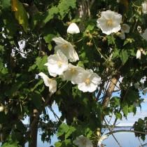 Канатник винограднолистный или овечий (Corynabutilon vitifolium)