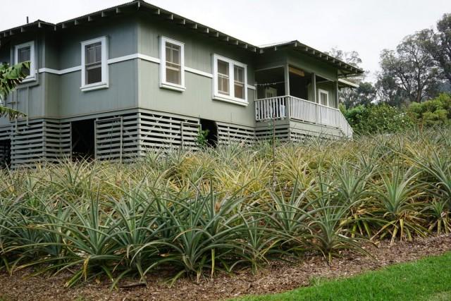 Выращивание культурного ананаса возле частного дома (Гавайи)