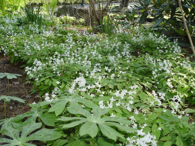 Горянка пышная «White Star» (Epimedium x youngianum)