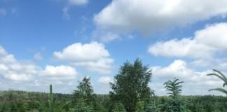 Выращивание ели голубой с применением биопрепаратов Трихоплант и Экомик Урожайный