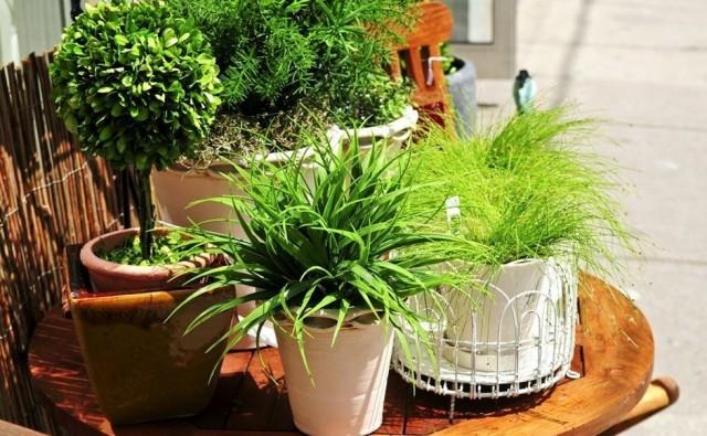 Главным недостатком всех садово-комнатных растений является необходимость постоянного формирования