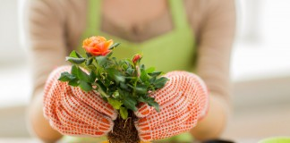 Сегодня ассортимент комнатных растений все чаще пополняется за счет садовых культур