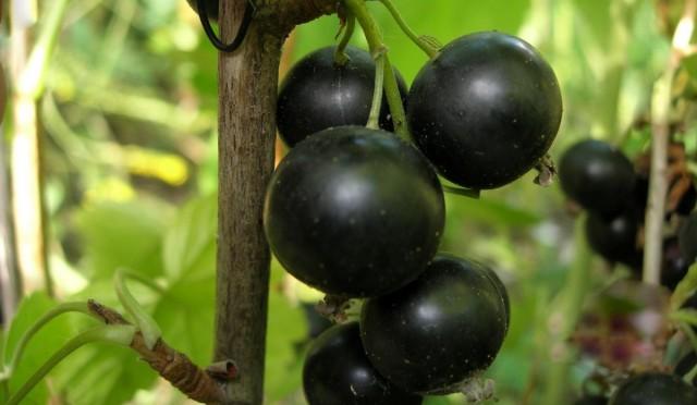 Чёрная смородина «Селеченская 2»