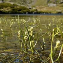 Ежеголовник узколистный (Sparganium angustifolium)