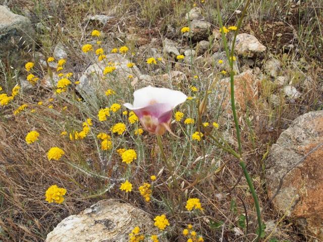 Калохортусы - идеальные растения для альпинариев