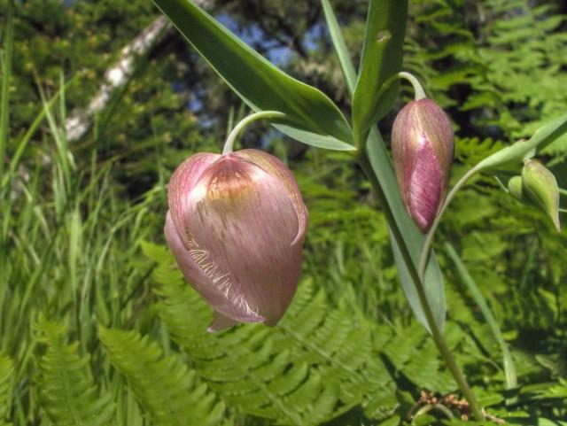 Партнеров для калохортусов можно подбирать из числа любых растений, которым комфортны те же условия