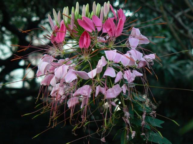 Цветение клеомы колючей