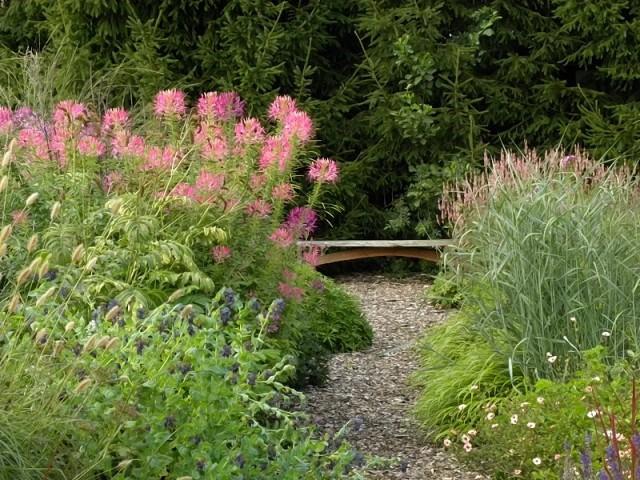 Клеома в саду хорошо сочетается с пряными и декоративными травами и злаками