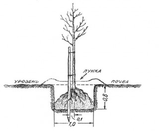 Схема высадки яблони в посадочную яму