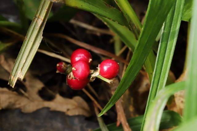 Плоды рейнекии
