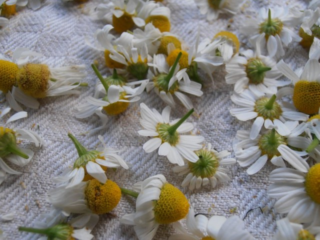 Самое ценное в аптечной ромашке - соцветия