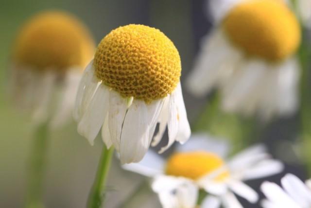 Краевые цветки, опущенные вниз, свидетельствуют о перезревании цветочных корзинок и непригодности сырья