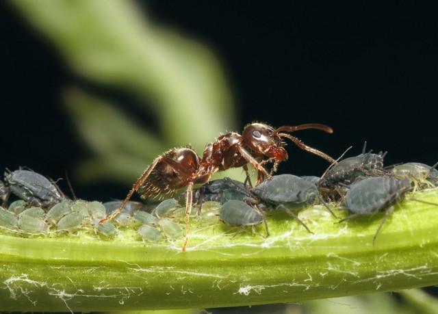 Тля и муравьи - всегда вместе