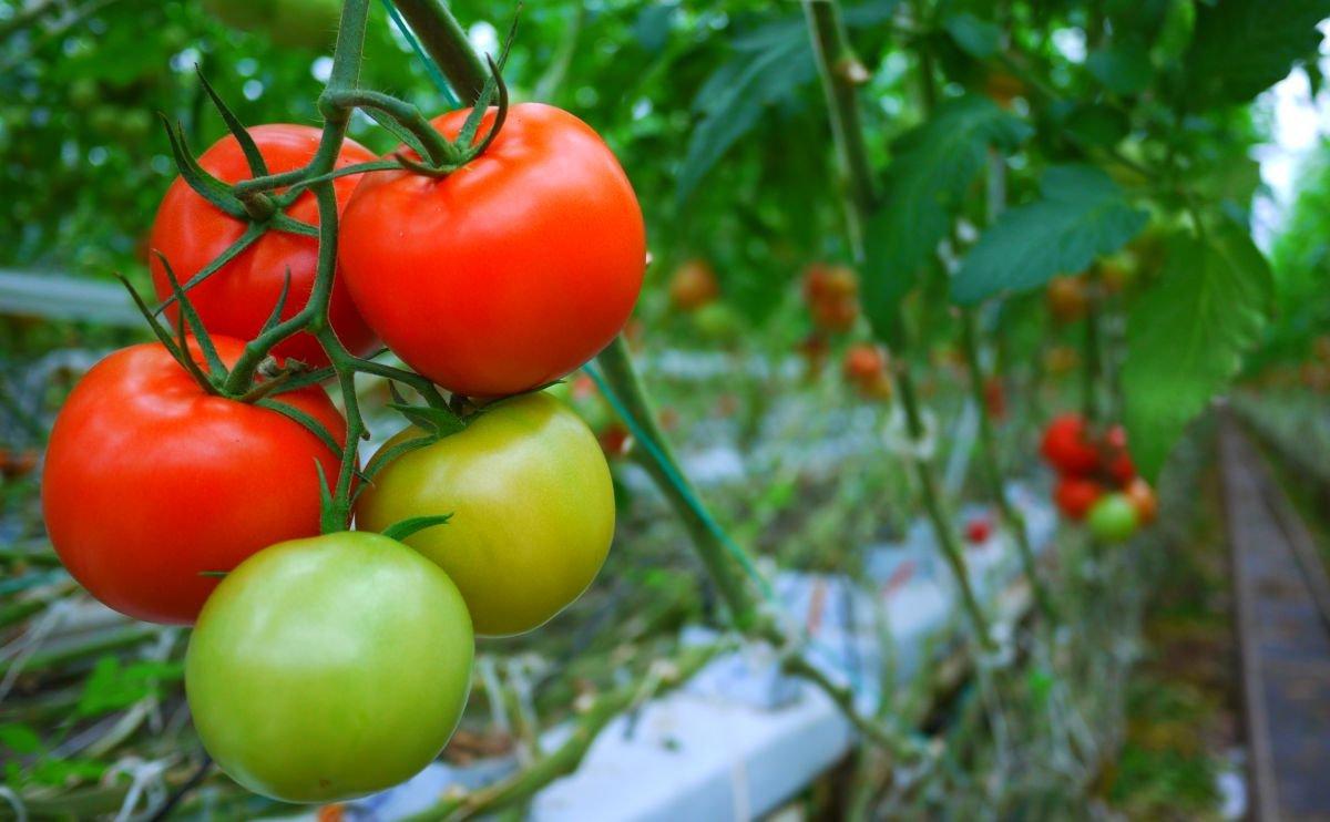 при какой температуре всходят семена томатов