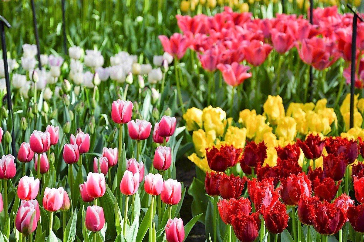тюльпаны фото всех сортов что все