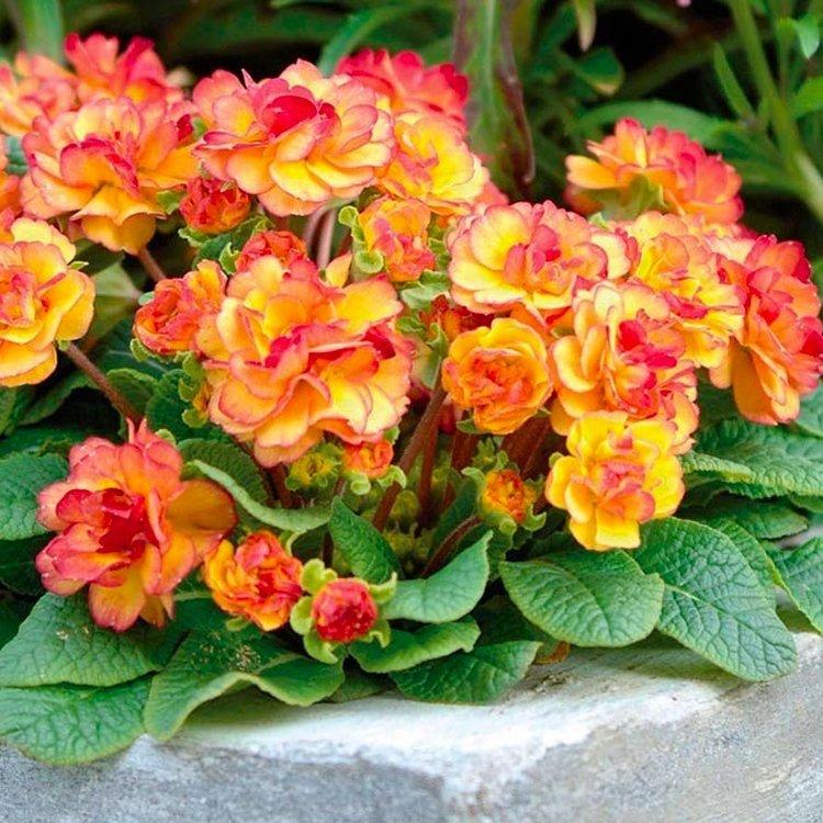 Primula-Nectarine