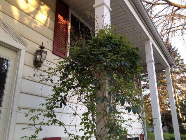 Комнатные акебии летом прекрасно чувствуют себя на открытых балконах, террасах, верандах