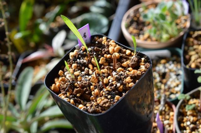 В один горшок высаживают, минимум, 5-7 луковиц бабианы
