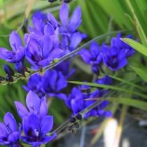 Бабиана ароматная (Babiana fragrans)