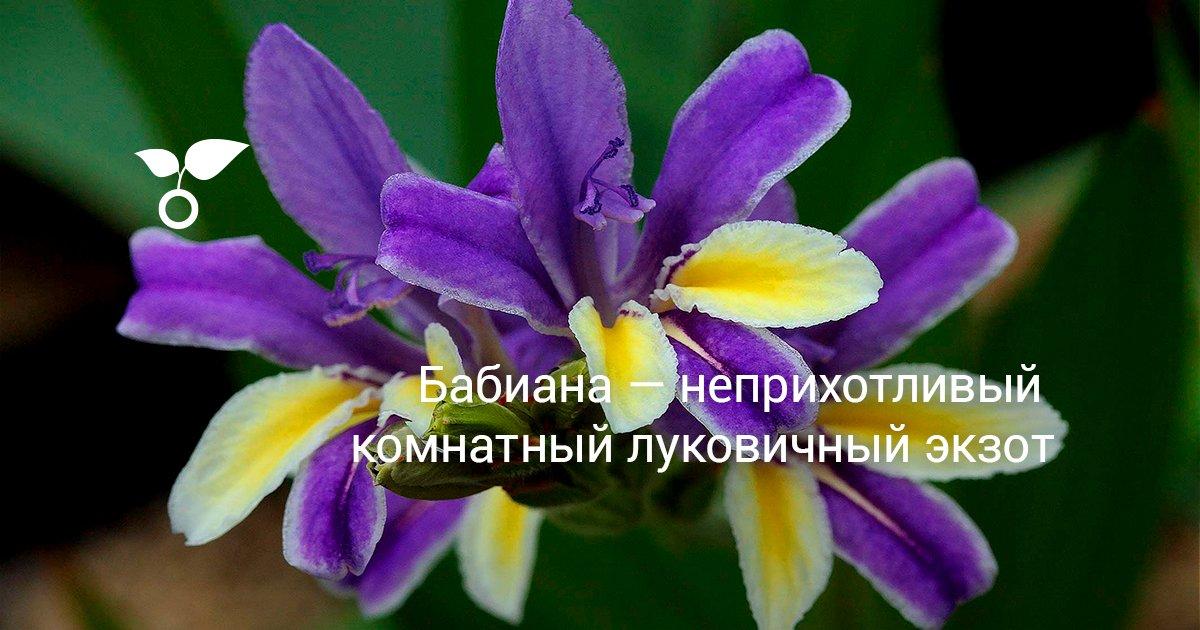 Цветок бабиана посадка и уход