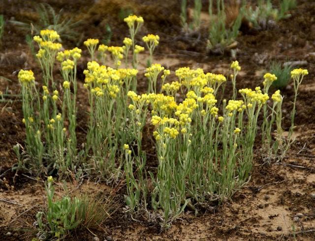 Бессмертник песчаный (Helichrysum arenarium)