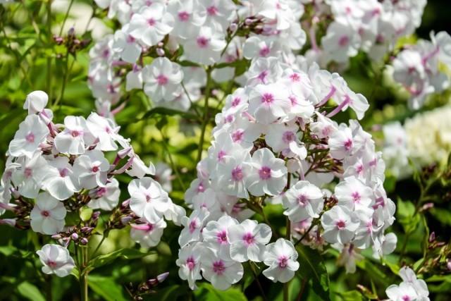 Флоксы ароматны и притягивают насекомых-опылителей