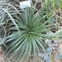 Гехтия техасская (Hechtia texensis)