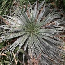 Гехтия серебристая (Hechtia argentea)