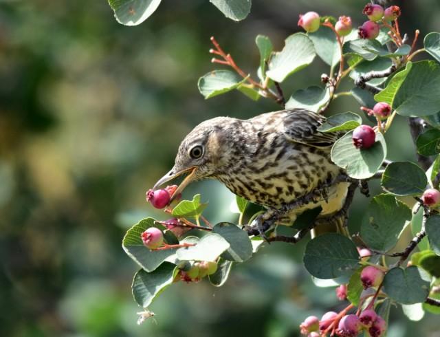 Урожай ирги необходимо защищать от птиц
