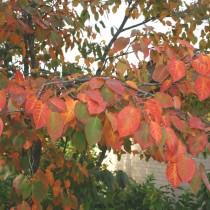 Ирга древовидная (Amelanchier arborea)