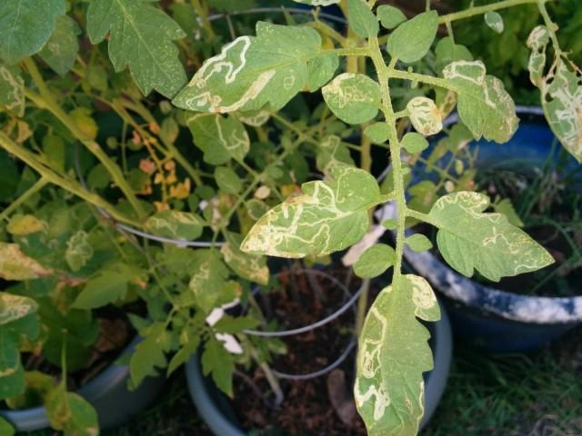 Желтеют листья томатов и от недостатка питательных веществ