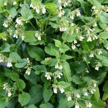 Окопник крупноцветковый (Symphytum grandiflorum)