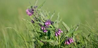 Уникальное лекарственное растение окопник может стать настоящим украшением пейзажного сада