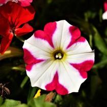 Разноцветная петуния