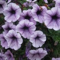 Мелкоцветковая петуния