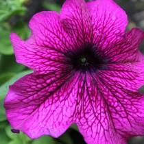 Крупоноцветковая петуния