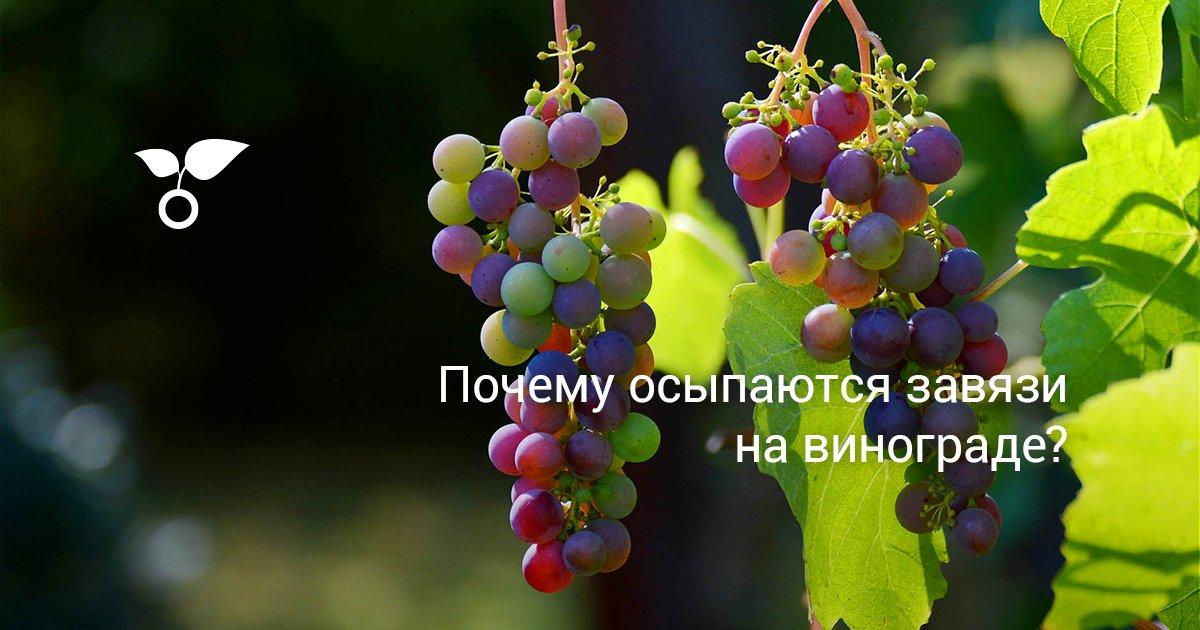 Отсутствие завязей на винограде