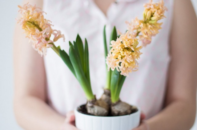 Луковичные лучше всего развиваются и цветут при средних или средне-высоких показателях влажности воздуха