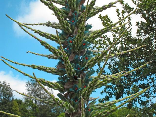 Пуйя Бертерона (Puya berteroniana)