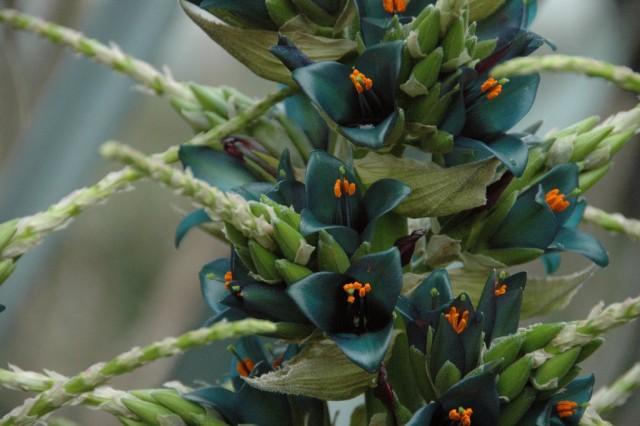 Пуйя альпийская (Puya alpestris)